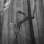 P8. 4glen 50 dead cottonwood against wall of willow canyon 1964